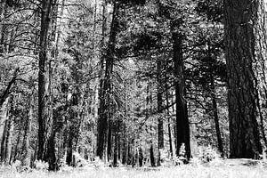 Bomen in Yosemite Park sur erik driessen