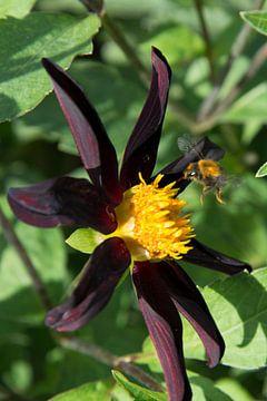 Blumen Dahlia von CreaBrig Fotografie