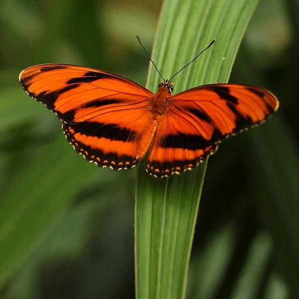 The Orange Butterfly van Cornelis (Cees) Cornelissen