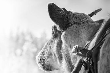 Rendier voor de slee in Finland van Rietje Bulthuis