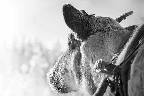 Rendier voor de slee in Finland