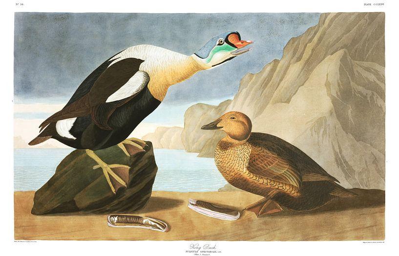 Prachteiderente von Birds of America