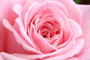 Roze roos (macro) van