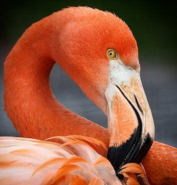 Rode Flamingo : Ouwehands Dierenpark van Loek Lobel