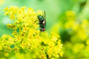 groene keizersvlieg sur