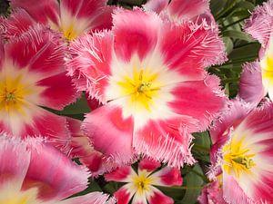 Show Tulip Pink van