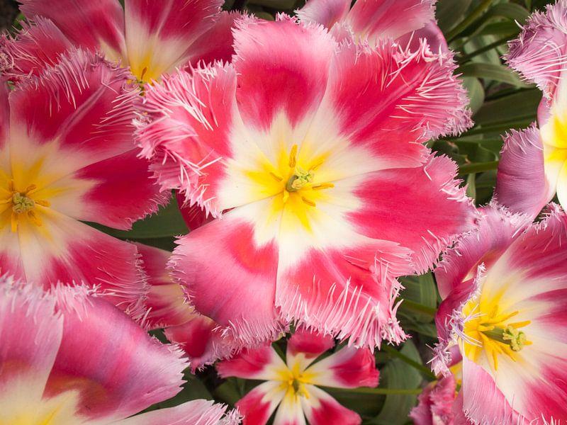 Show Tulip Pink van David Hanlon