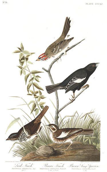 Roodoorgors van Birds of America