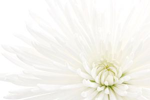 Chrysant / Chrysanthemum van