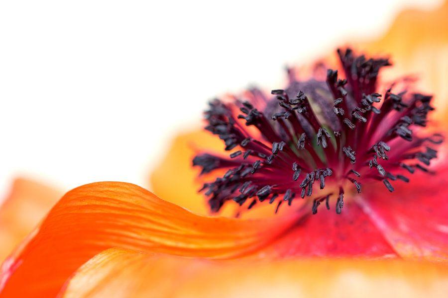Eruption of colors... (I) (bloem, lente, klaproos, oranje) van Bob Daalder