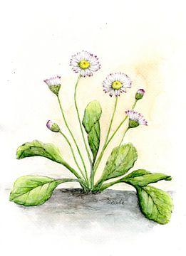 Gänseblümchen von Sandra Steinke