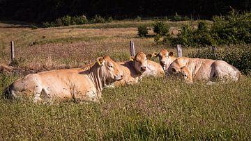 Kühe von Rob Boon