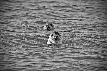 Zeehonden zeekust Texel van