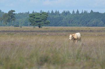 Einsame Kuh auf der Heide von Dwingelderveld von Ezra Middelburg