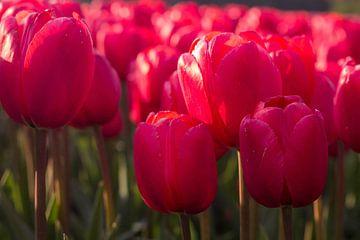Tulpen veld van Leonie Boverhuis
