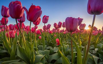 Tulpen uit Amsterdam van Martijn Kort