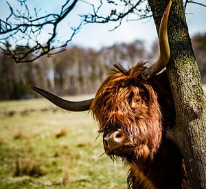 Goedemorgen Highlander van Meint Brookman