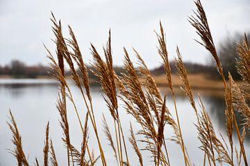 Rietkraag langs het Veerse meer van bart hartman
