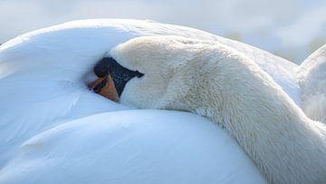 rustende stomme zwaan (Cygnus olor) zet zijn hoofd onder de vleugels te slapen, kopieer ruimte, gese van Maren Winter