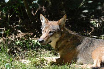 wolf in het gras von Pascal Engelbarts