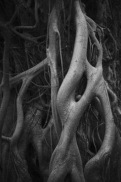 zilvergrijze boomwortels van Karel Ham