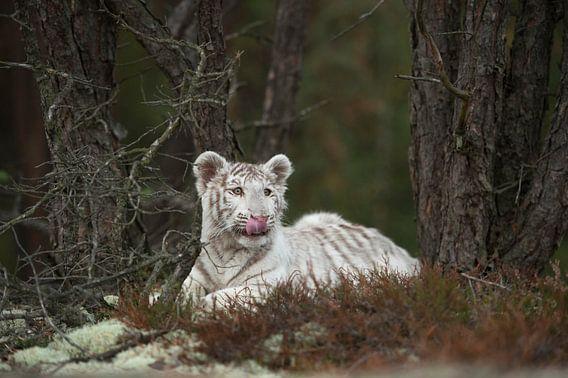 Weißer Königstiger ( Panthera tigris ), ruht, liegt zwischen Bäumen im Unterholz, leckt sich die Sch