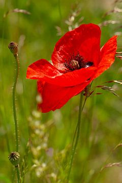 De rode klaproos of Papaver rhoeas in het gras van Jani Moerlands