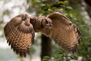 Vliegende jonge europese Oehoe in bos van