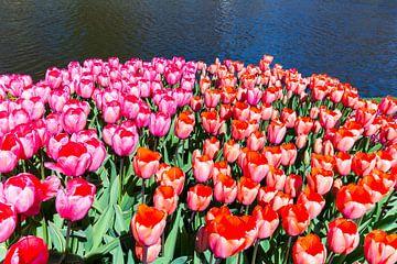 Tulpenveld met rode en roze tulpen bij water in lente  van Ben Schonewille