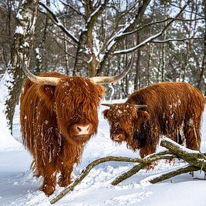 schotse hooglanders in de sneeuw 2 van scott van maurik