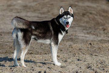 Husky een mooi hondenras van Peter Buijsman
