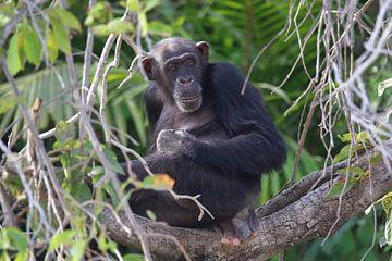 Schimpanse von Petervanderlecq