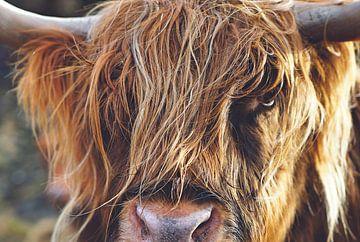 Schotse hooglander close up van Hendrik Jonkman
