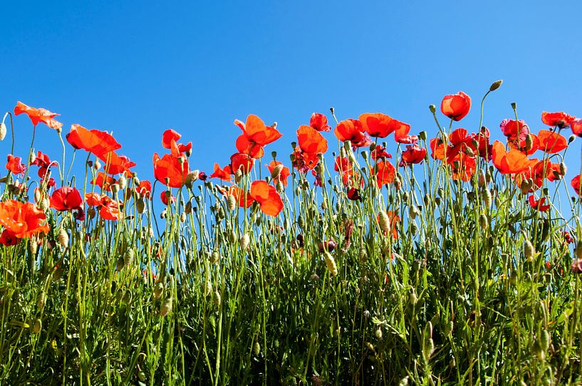 Red Poppys van Dora van der Sande