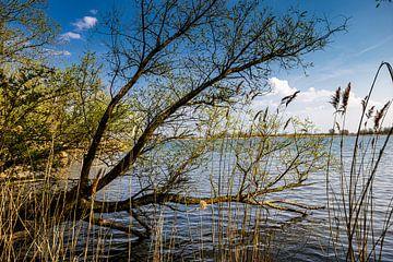 Biesboschbaum über dem Fluss von Carin IJpelaar