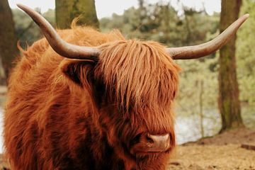 schottischer Highlander von Anne Vermeer