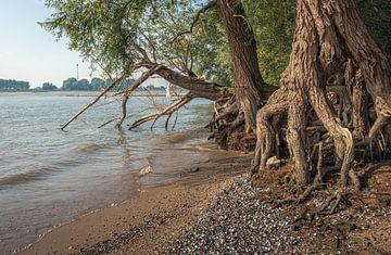 Wilgenbomen langs de oever van de rivier