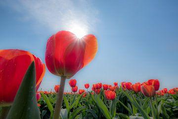Tulpenveld met zon van Moetwil en van Dijk - Fotografie