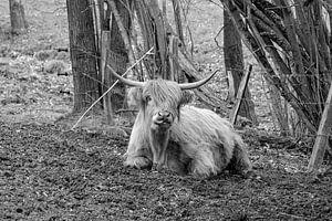 De Schotse Highland koe toont zijn lange tong. van Harald Schottner