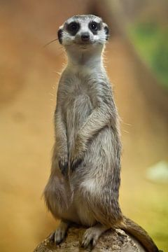 Colonne attentive sur le suricate mignon. Suricate vigilant sur fond jaune-orange. Symbole de soin e sur Michael Semenov