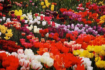Tulpen in Nederland, een kleurrijk geheel van