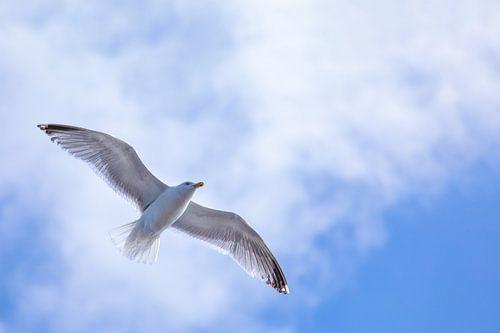 Flying High - Zeemeeuw in de lucht