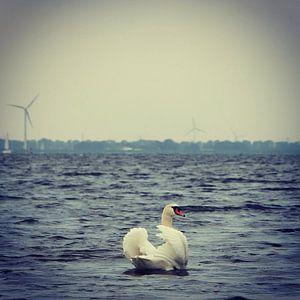 Beautiful swan posing for the camera, Netherlands van Daniel Chambers
