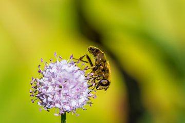 Biene auf einer Blume von Joost Potma