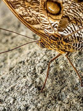 Vlinder van Raymond Schrave