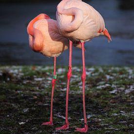 Souplesse van een Flamingo van Karin Bazuin