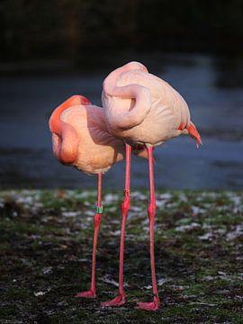 Flexibilität eines Flamingos von Karin Bazuin