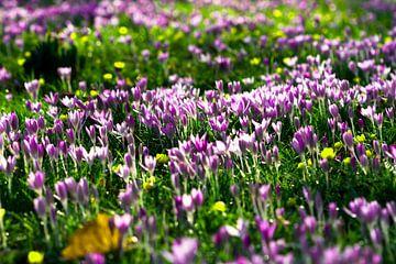 krokus lente van Martina Weidner