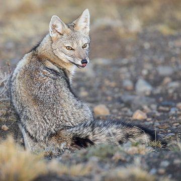 Patagonische vos van Lennart Verheuvel