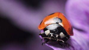 lieveheersbeestje op bloem macro van